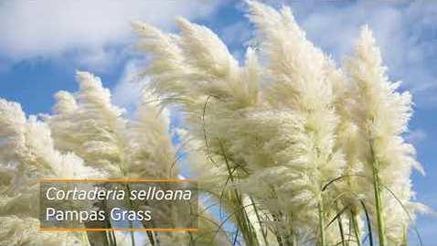 Thumbnail for entry Ornamental Grass Series: Perennials