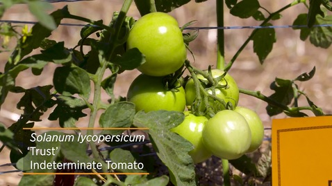 Thumbnail for entry 2020 Tomato Varieties