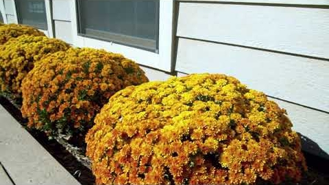 Thumbnail for entry Perfect Fall Chrysanthemums