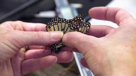 Thumbnail for entry Monarch Butterfly Migration Update