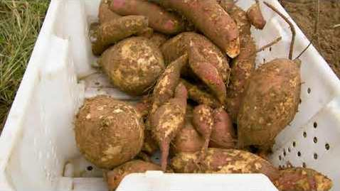 Thumbnail for entry Researching Sweet Potato Harvest