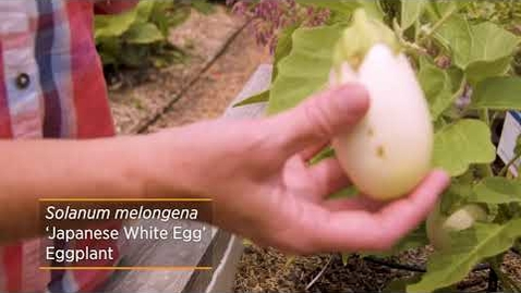 Thumbnail for entry Eggplants are Berries?! Check out this Japanese White Eggplant