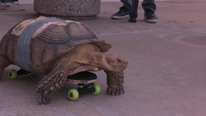 Skateboarding Tortoise