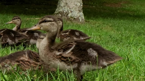 Thumbnail for entry The Duck Pond welcomes a new generation