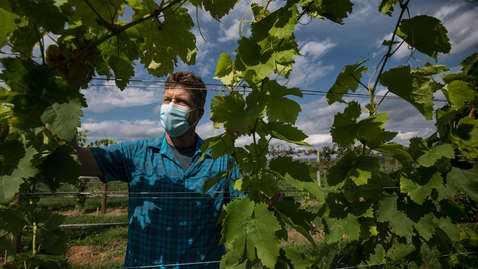Thumbnail for entry Viticulture research helps better serve Virginia's wine industry
