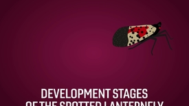 Thumbnail for entry Spotting the highly invasive spotted lanternfly