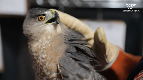 Hokies help Cooper's hawk spread its wings and fly
