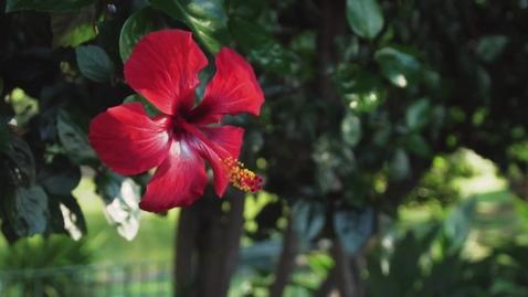 Miniatura para la entrada red-flower-of-a-tree-in-a-garden-3000