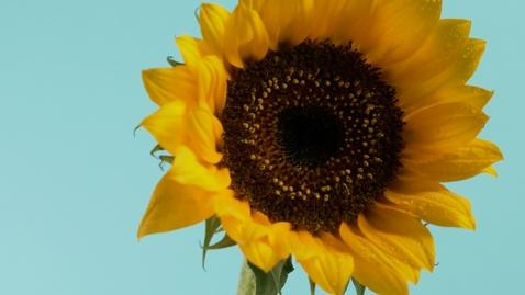 Miniatura para la entrada sunflower-close-up-111