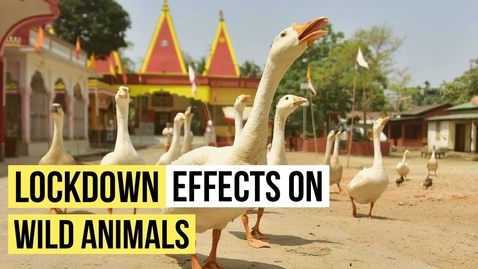 Thumbnail for entry Corona Pandemic Lockdown Effect on Wild Animals