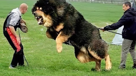Thumbnail for entry 10 Most Powerful Dogs in the World