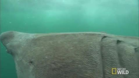 Thumbnail for entry Breaching Basking Sharks _ World's Weirdest Video