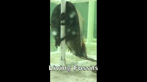 Thumbnail for entry Burton 4-H Center - Living Fossils (horseshoe crabs) - Tuesdays on Tybee!
