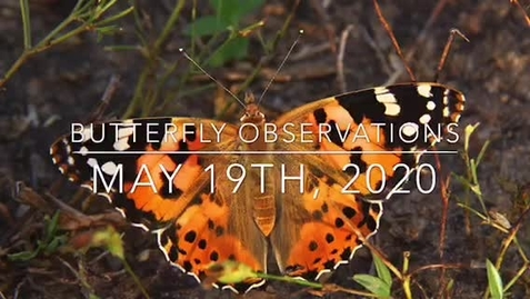 Thumbnail for entry Butterfly Observations - May 19, 2020