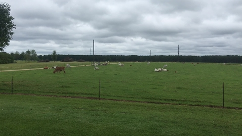 Thumbnail for entry Cows Grazing