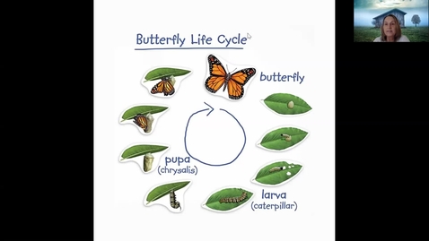 Thumbnail for entry Painted Lady Life Cycle Week 2