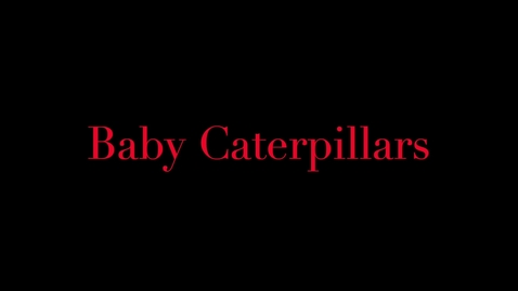 Thumbnail for entry Baby Caterpillars