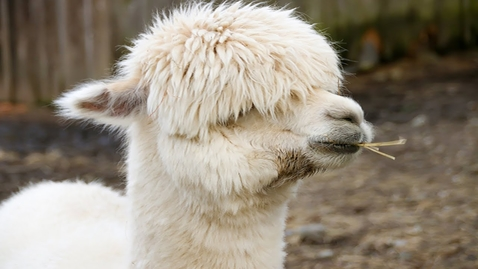 Thumbnail for entry Animal Cool Facts: 5 Things You Didn't Know About Llamas