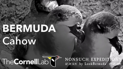 Thumbnail for entry Live Endangered Bermuda Cahows | Nonsuch Expeditions | Cornell Lab