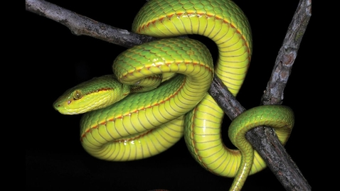 Thumbnail for entry New Snake Species Named After Slytherin Founder at Hogwarts