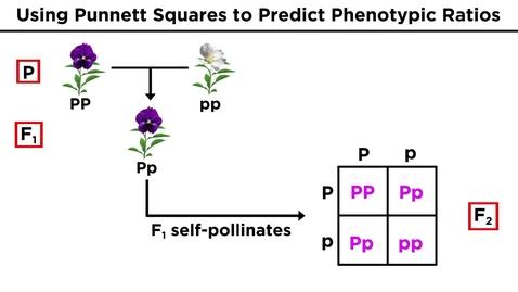 Thumbnail for entry Mendelian Genetics and Punnett Squares