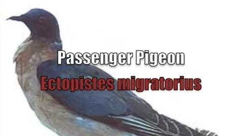 Thumbnail for entry Extinct Species: Passenger Pigeon