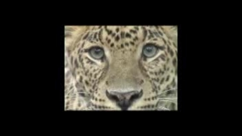 Thumbnail for entry James and Chris Amur Leopard
