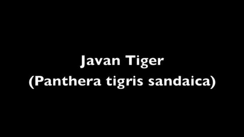 Thumbnail for entry Javan Tiger-Beka McClymonds