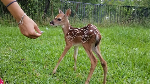 Thumbnail for entry Most Funny and Cute Baby Deer Videos Compilation (2018)