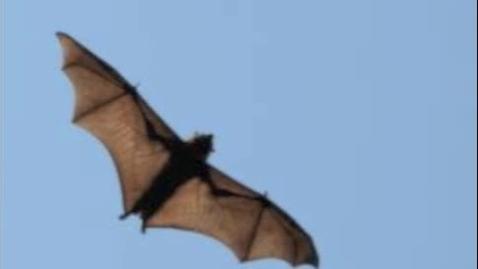 Thumbnail for entry guam flying fox-auck,graham-pd1
