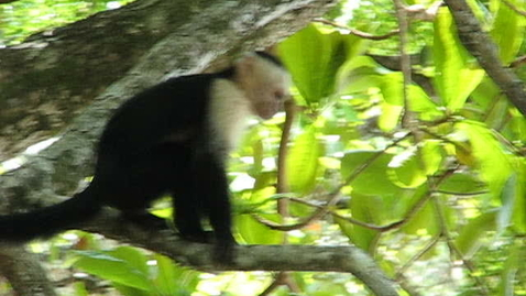 Thumbnail for entry Monkey in Costa Rica
