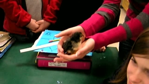 Thumbnail for entry Newly Hatched Chick