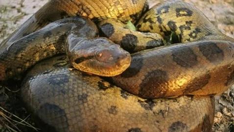 Thumbnail for entry Anacondas- Lian