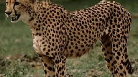 Thumbnail for entry Cheetah