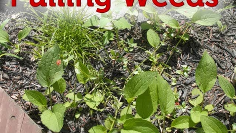 Thumbnail for entry Pulling Weeds