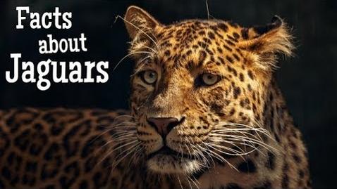 Thumbnail for entry Jaguar Facts for Kids