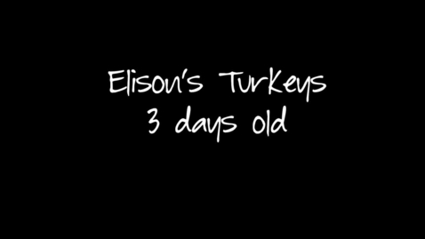 Thumbnail for entry Baby Turkeys