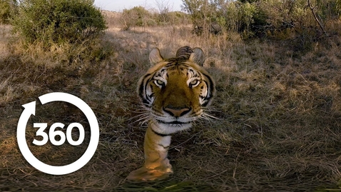 Thumbnail for entry Experience the Elusive Tiger | Racing Extinction (360 Video)