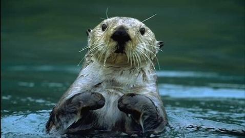 Thumbnail for entry Sea Otter