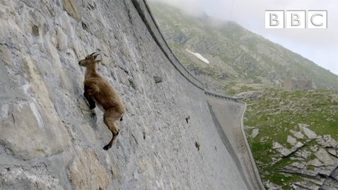 Thumbnail for entry The incredible ibex defies gravity and climbs a dam | Forces of Nature with Brian Cox - BBC