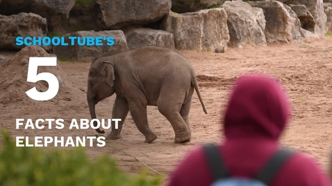 Thumbnail for entry SchoolTube's 5 Facts About Elephants