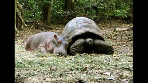 Thumbnail for entry 130 year old Tortoise Saves Baby Hippo's Life, Now They're Best Friends…