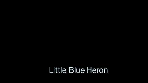 Thumbnail for entry Little Blue Heron