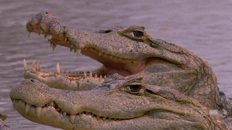 Thumbnail for entry PBS Nature - The Reptiles, Part1of4 - Alligators and Crocodiles (2003.HDTV.SoS).avi