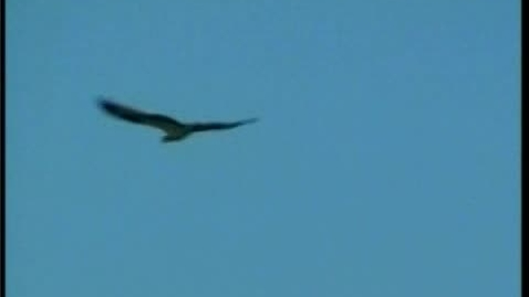 Thumbnail for entry Osprey get fish drops in nest