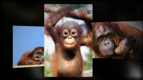 Thumbnail for entry UNLESS Project Save The Orangutan Video_Jimmy
