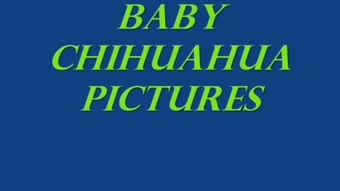 Thumbnail for entry chihuahuas