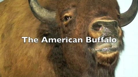 Thumbnail for entry American Buffalo