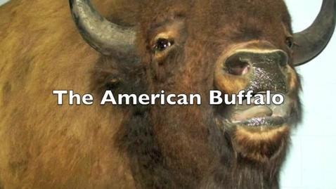 Thumbnail for entry American Buffalo