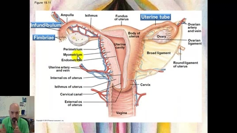 Thumbnail for entry Reproductive System part 5 - Uterine Cycle
